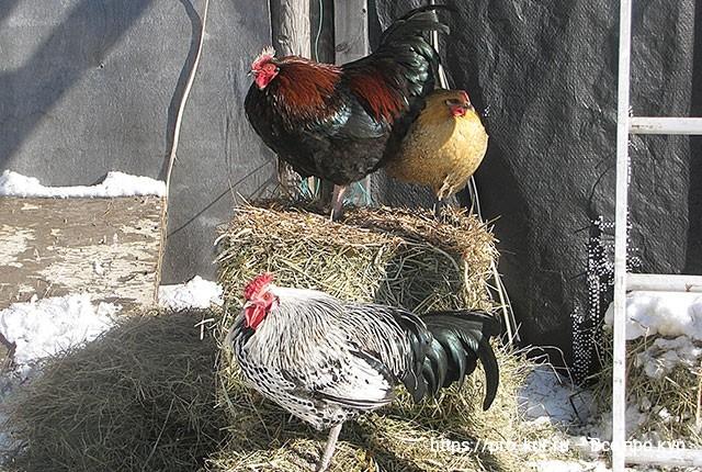 Солнце для кур и цыплят зимой.