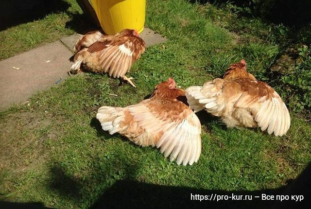 Солнце для кур и цыплят. Про витамин Д для здоровья птиц.