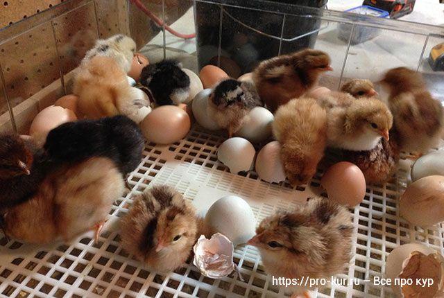 Сухая инкубация яиц – увеличьте скорость вывода, не добавляя воды.