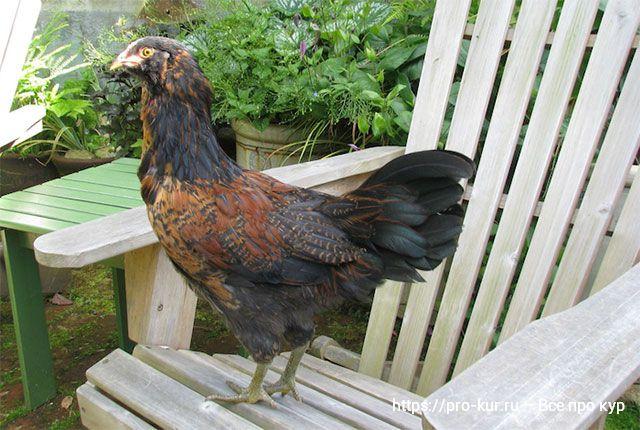 Сюрпризы и улыбки от цыплят и кур для начинающих птицеводов.