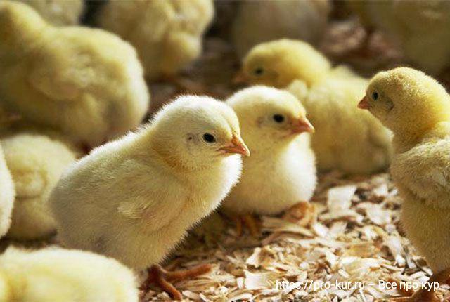 Температура для цыплят в первые дни жизни бройлеров и яичных пород.