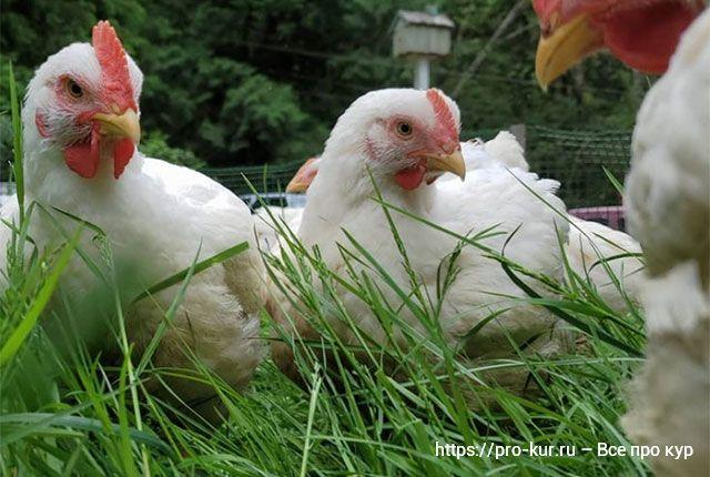 Куры в органическом птицеводстве: условия содержания и кормления.