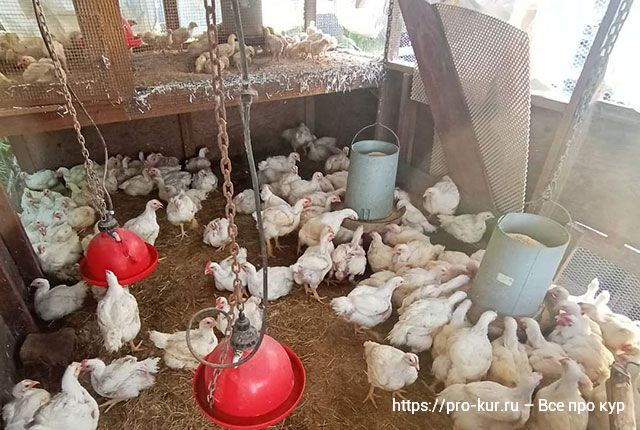 Вес цыплят бройлеров по дням, неделям и месяцам по норме в домашних условиях.