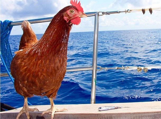 Курица Моника, которая совершила кругосветное путешествие