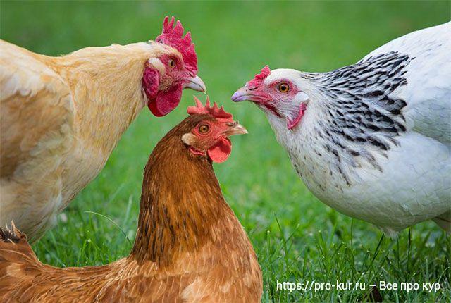 Куры клюют перья друг у друга и съедают их – причны и что делать.