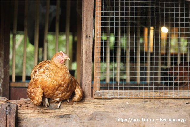 Куры в жару – как спасать, чем кормить и поить.