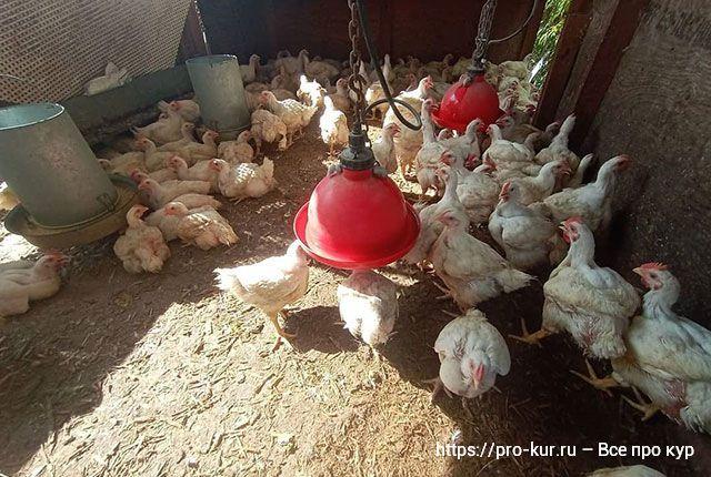 Почему гибнут цыплята бройлеры – 11 причин и что делать, как спасти.
