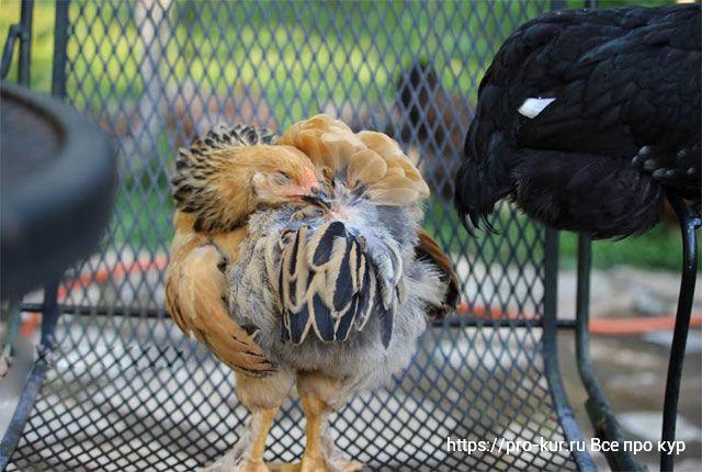 У цыплят растут перья – чем подкормить, чтобы быстрее оперились?