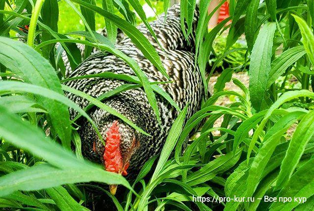 У курицы опухли глаза – список болезней, что делать и как лечить.