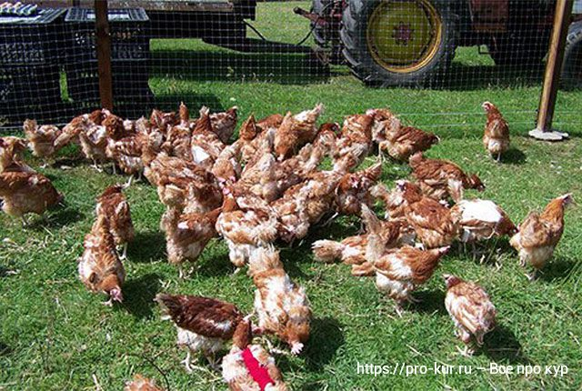 У курицы выпадают перья из-за болезни или 5 видов линьки у кур.