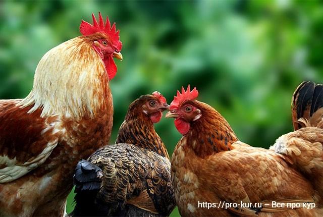 Если в хозяйстве не принята выгульная система содержания, не стоит лишать птицу зеленых кормов. Совсем несложно кормовые смеси, развешиваемые в виде пучков. Совет! Не скармливайте корма с подстилки. Это чревато заражением стада инвазиями и другими недугами.