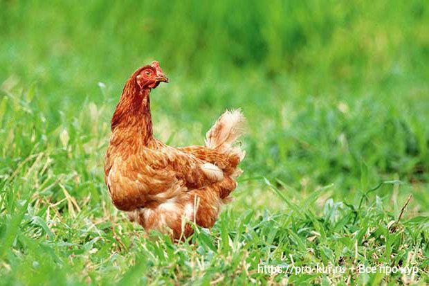 Забился зоб у курицы – причины и лечение в домашних условиях.