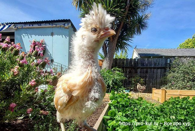 Зеленый корм для кур несушек летом.
