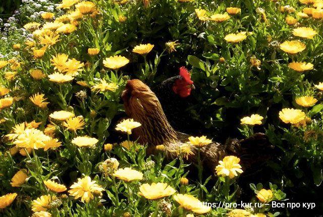 Зеленый корм для кур несушек летом и зимой в рационе.