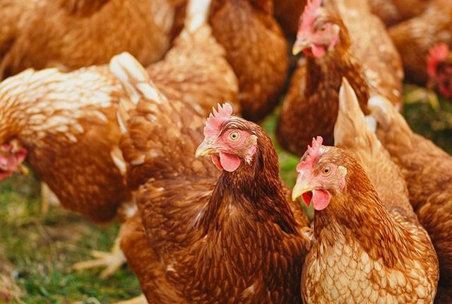 Животный белок в кормлении кур несушек и цыплят.