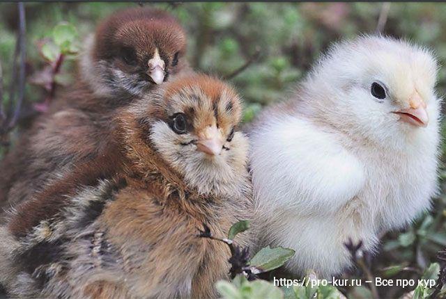 Аптечка для цыплят и кур – какие препараты от чего помогают.