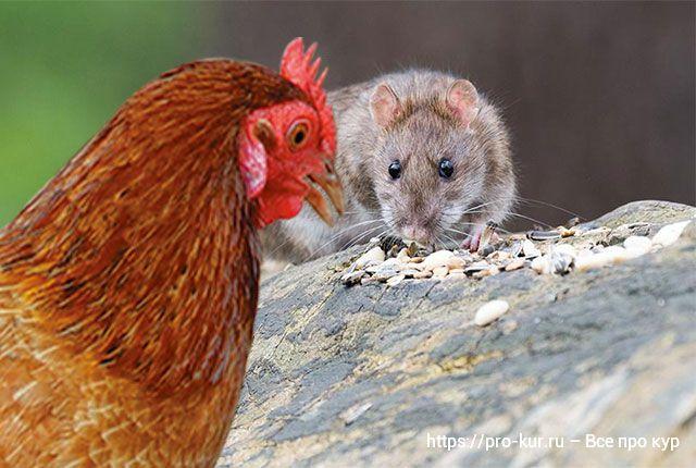 Как можно избавиться от крыс в курятнике народными средствами и химическими препаратами?