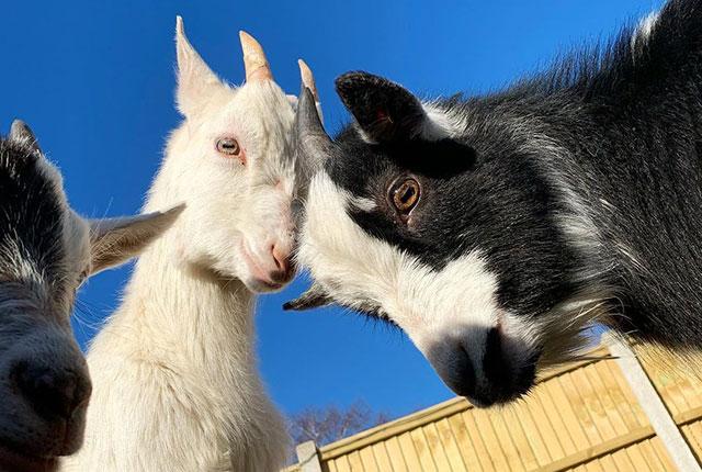 Кормление коз и козлят в домашних условиях.