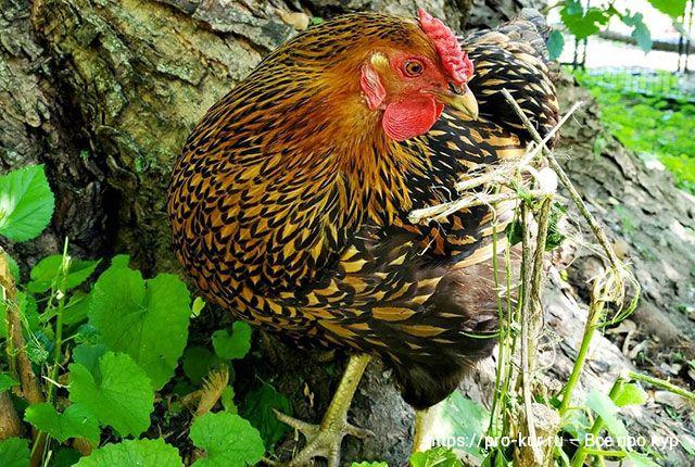 Курица хромает на одну ногу – причины и что делать, как лечить.
