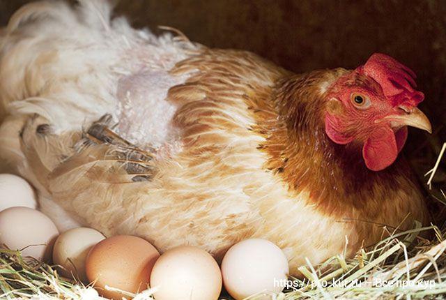 Курица не может снести яйцо – что делать и как ей помочь в домашних условиях.