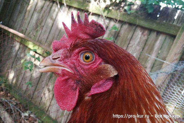 Почернел и опух гребень у курицы или петуха – причины и что делать.