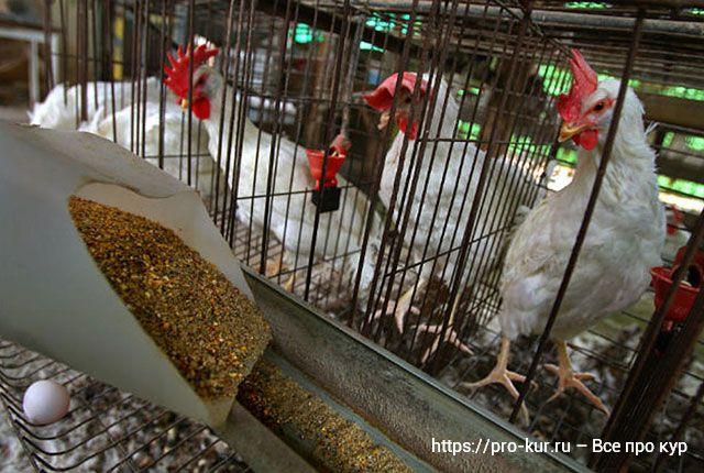 Правила клеточного содержания кур-несушек в домашних условиях.