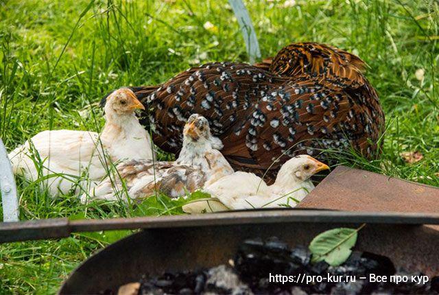 Причины и виды линьки кур-несушек по возрастам и сезонам.