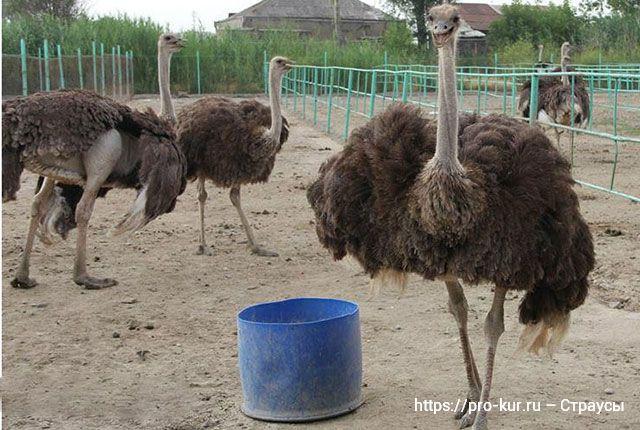 Разведение страусов как идея для малого бизнеса.