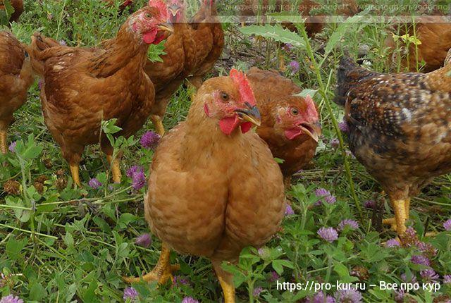 Ветеринарные мифы о содержании кур и цыплят.