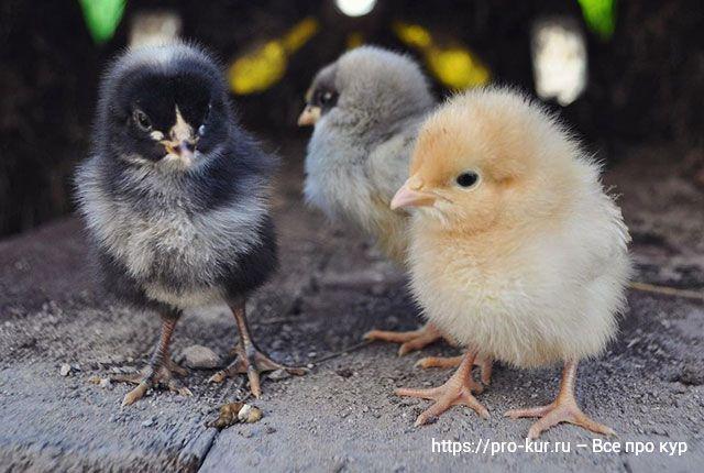 Что делать с цыплятами после вылупления – пошаговый план.