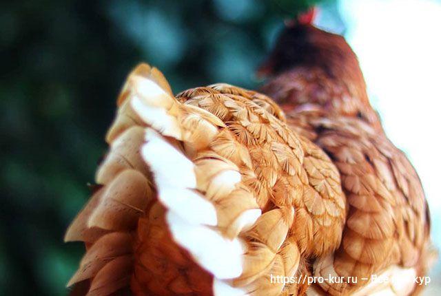 Мелкие яйца у кур – 8 причин, что делать.