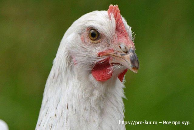 Селен курам несушкам, цыплятам и бройлерам.