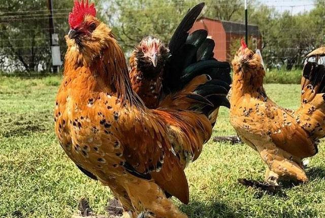 Выбираем вид птицы для своего птичьего двора.