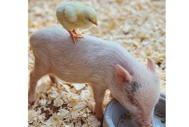 Как правильно разводить свиней и кормить поросят