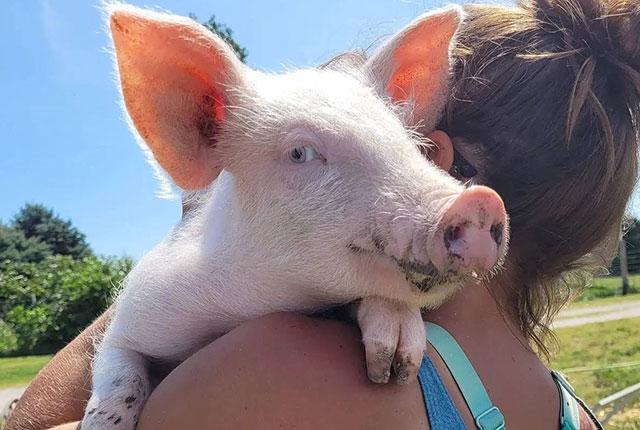 Как правильно разводить свиней и кормить поросят в домашних условиях.