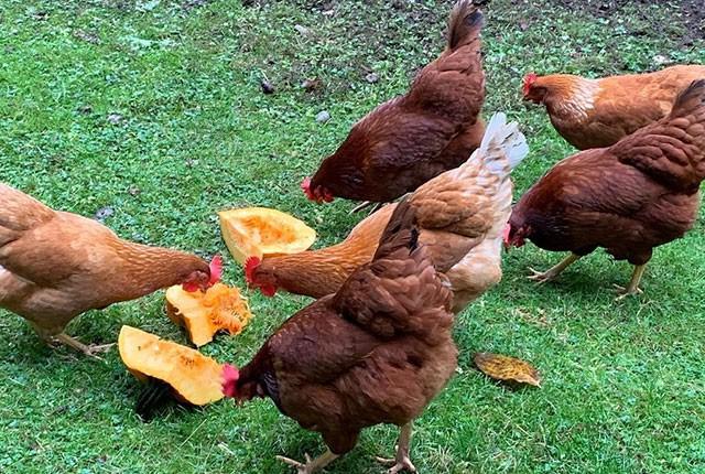 Кормление кур тыквой – как давать и приучать, если не едят.
