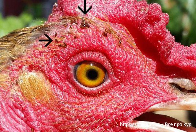 Красный куриный клещ – борьба и профилактика, препараты.