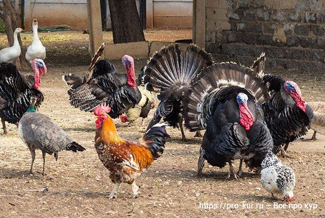 Курица или индейка – что полезнее по мнению диетологов?