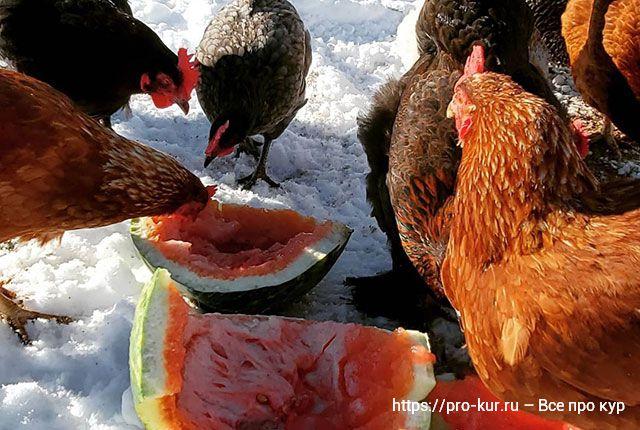 Куры не несутся зимой и весной – что делать для яйценоскости.