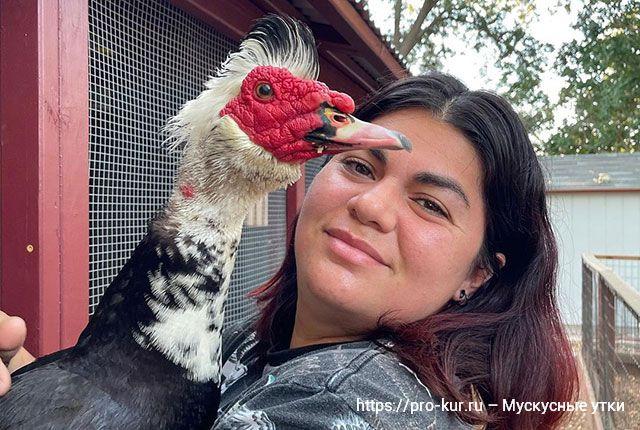 Мускусные утки – вопросы и ответы про содержание и разведение в домашних условиях.