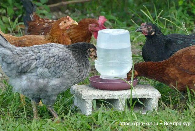 Поилки для кур и цыплят покрываются пленкой, их нужно чистить!