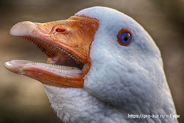 Зубы у гусей на клюве и языке.