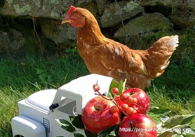 Проверка здоровья кур и цыплят за 11 шагов
