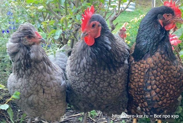 Сколько корма съедает курица несушка в день по норме в разное время года.