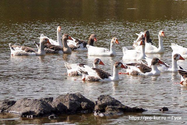 Содержание гусей летом и ранней осенью для начинающих.