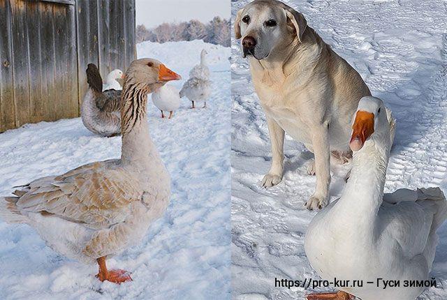 Содержание гусей зимой и ранней весной для начинающих гусеводов.