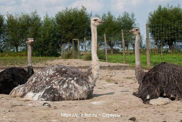 Как разводить страусов в домашних условиях.