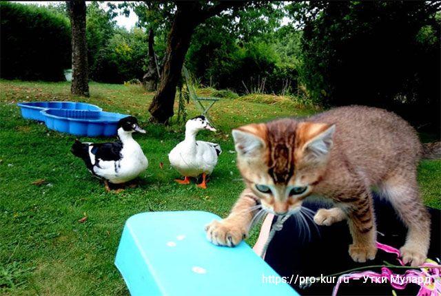 Утки Мулард – уход и кормление для начинающих птицеводов.